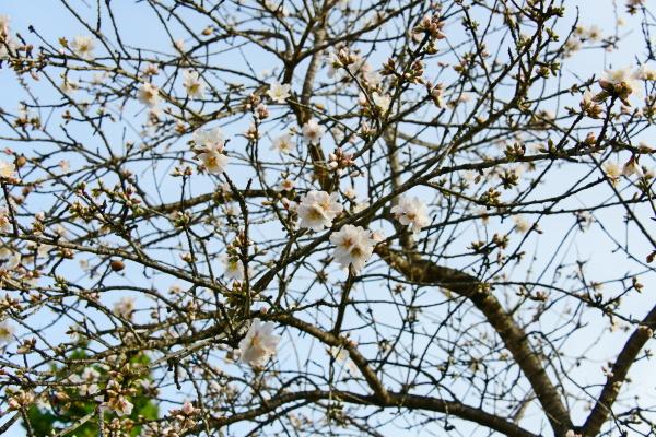blossoms, on, almond, tree, , alicante, province, - 28217993