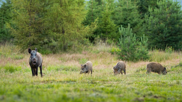 wild boar herd with sow and