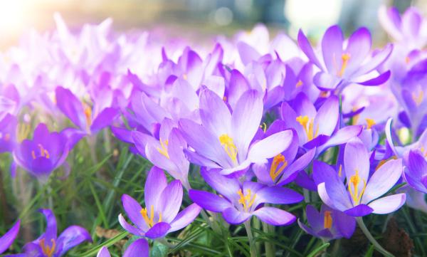 blooming purple crocus flowers in a
