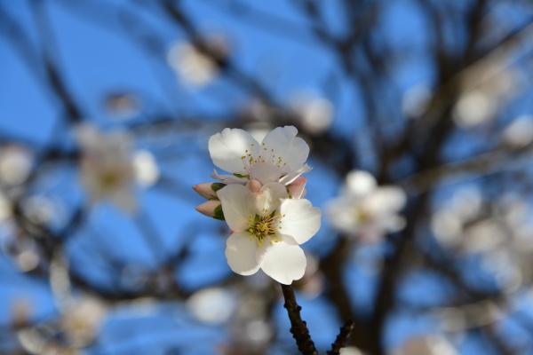blossoms, on, almond, tree, , alicante, province, - 28218116