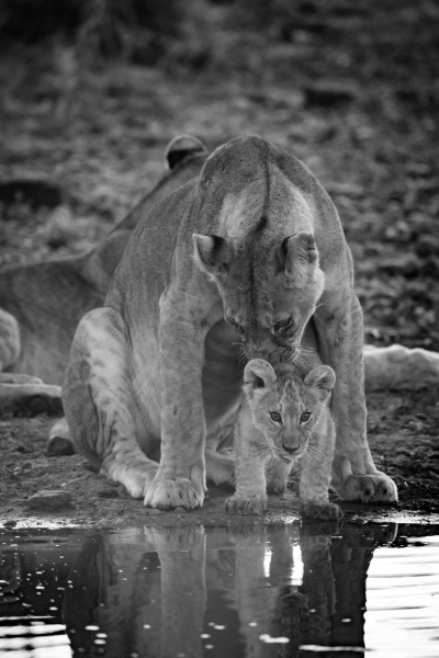 mono lioness licking cub at water