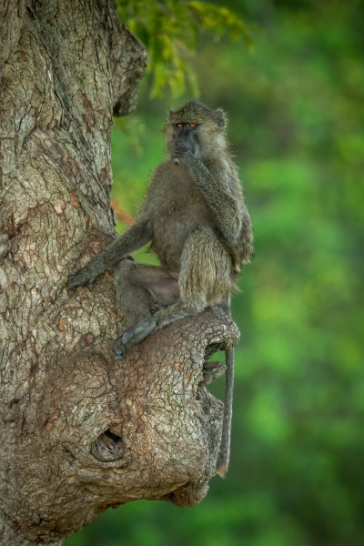 olive baboon sits in tree covering