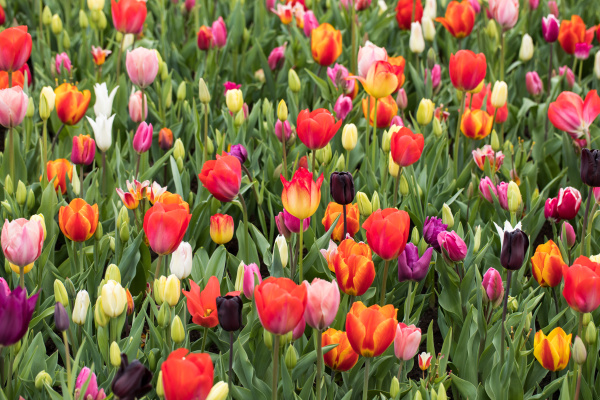 colorful, tulips, flowers, blooming, in, a - 28237790