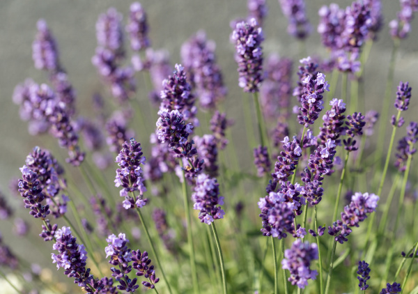 , the, flourishing, lavender, , in - 28238562