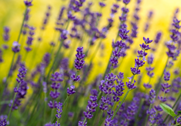 , the, flourishing, lavender, , in - 28238566