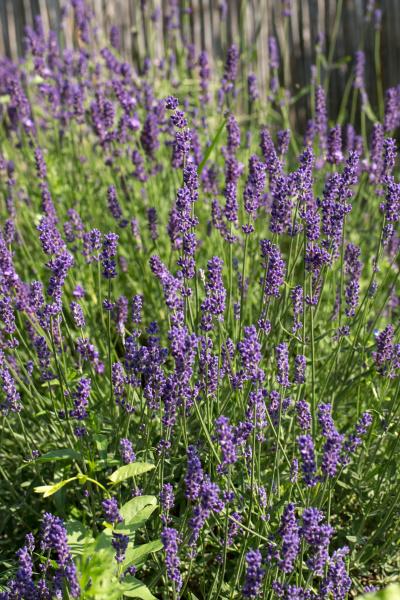 , the, flourishing, lavender, , in - 28238624