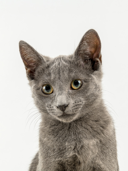 cats, russian, blue, 2020, 25236h - 28238142
