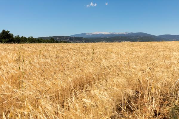 cornfield, and, lavender, fields, near, sault - 28238828