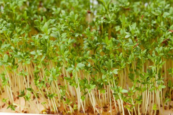 cress, seedlings, isolated, on, white, background - 28238984