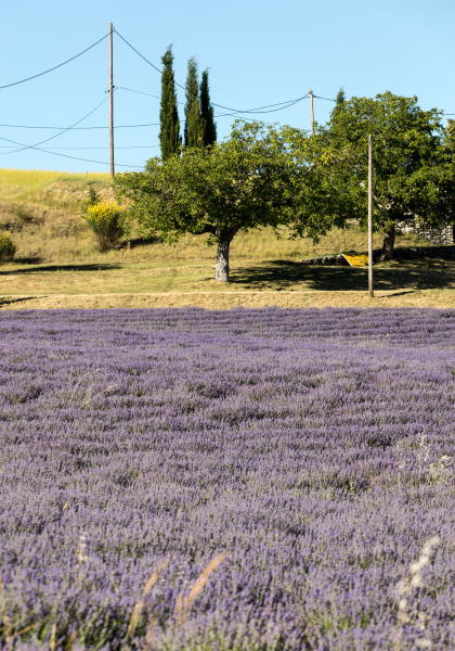 lavender, field, in, provence, , near, sault, - 28238599