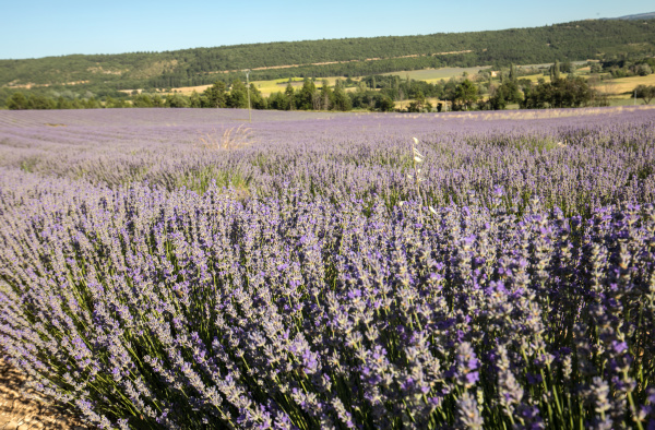 lavender, field, in, provence, , near, sault, - 28238816