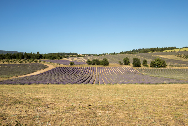 lavender, field, in, provence, , near, sault, - 28238856