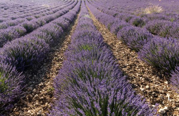 lavender, field, in, provence, , near - 28238643