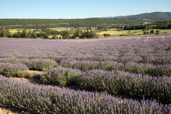 lavender, field, in, provence, , near - 28238951