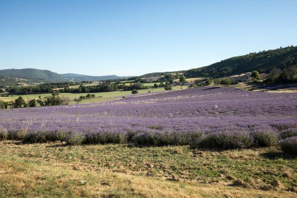 lavender, field, in, provence, , near - 28238996