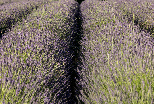 lavender, field, near, sault, in, provence, - 28238729