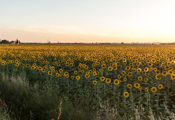 sunflowers, field, near, arles, , in - 28238578