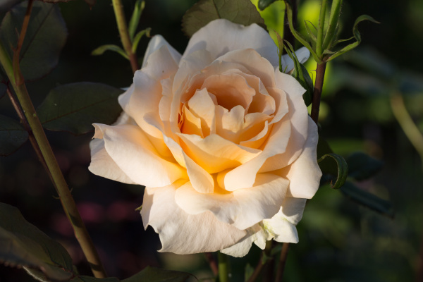 yellow, rose, on, the, branch, in - 28238988