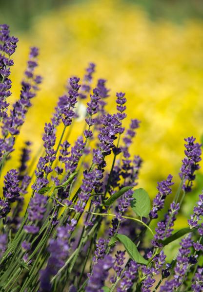 , the, flourishing, lavender, , in - 28239331