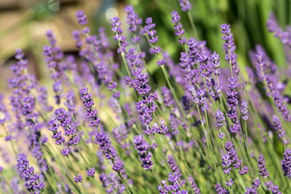 , the, flourishing, lavender, , in - 28239332