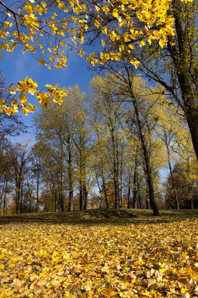 autumn, yellow, foliage - 28239500