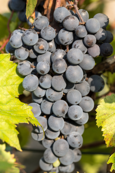 bunch, of, red, grapes, on, the - 28239205