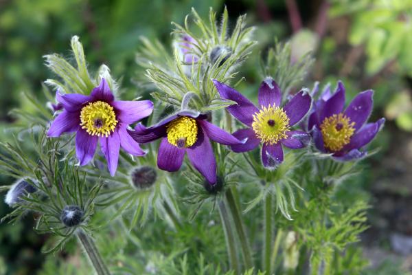 closeup, from, blooming, pulsatille, vulgaris, , the - 28239572
