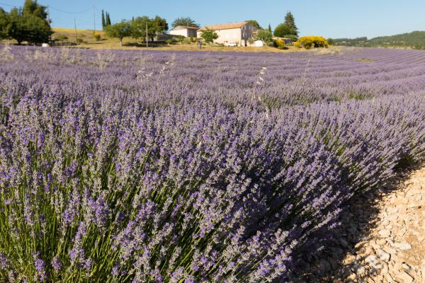 lavender, field, in, provence, , near - 28239376