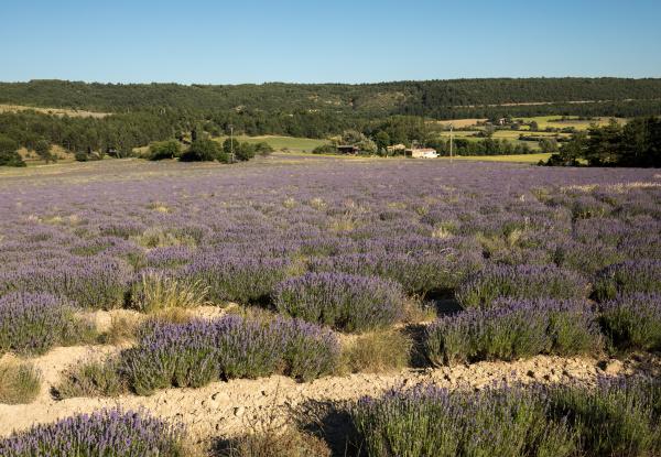 lavender, field, in, provence, , near - 28239378