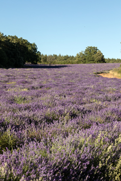 lavender, field, near, sault, in, provence - 28239336