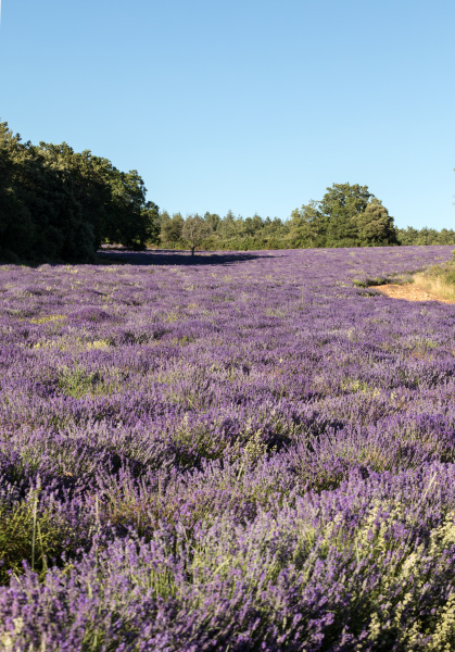 lavender, field, near, sault, in, provence - 28239337