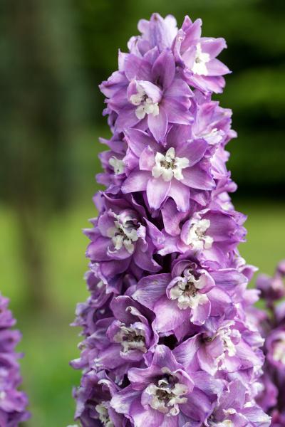 purple, delphinium, flower, in, garden, - 28239676