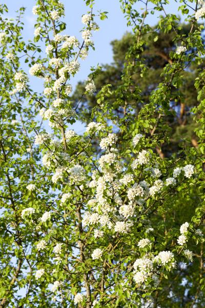 white, flowers, trees - 28239791