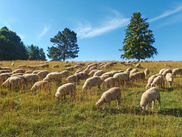sheep, grazing - 28240295