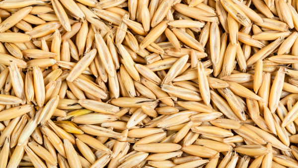 dry seeds of cultivated oat