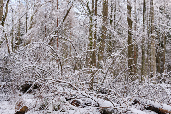 wintertime landscape of snowy mixed stand