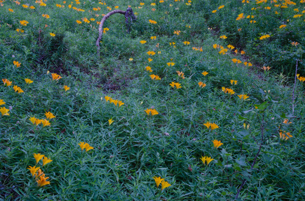 peruvian lilies in flower in the