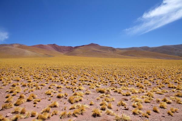 peruvian feathergrass in the puna de
