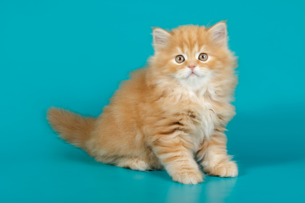 highland straight cat on colored backgrounds