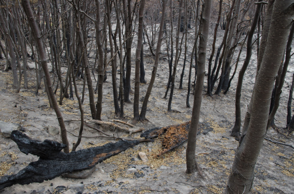 burned forest in the forest fire