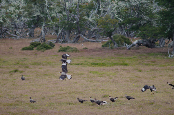 southern crested caracaras eating on the