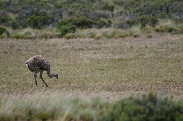darwins rhea rhea pennata searching for