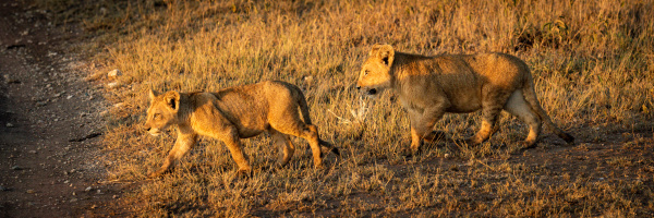 panorama of lion cubs crossing dirt
