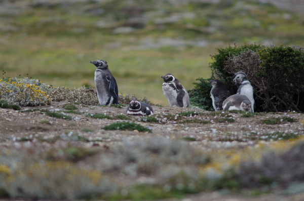 juveniles and adults of magellanic penguins