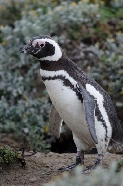 magellanic penguin spheniscus magellanicus in the