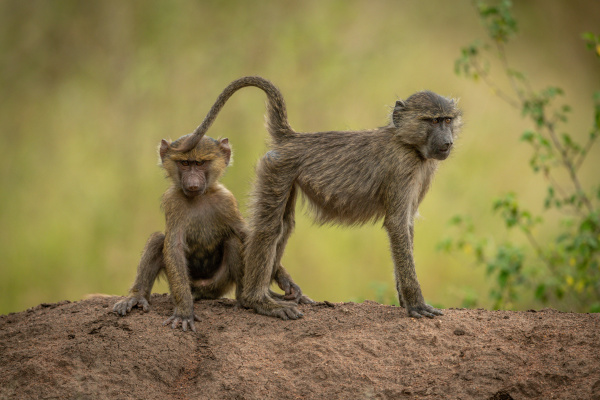 olive baboons sit and stand on