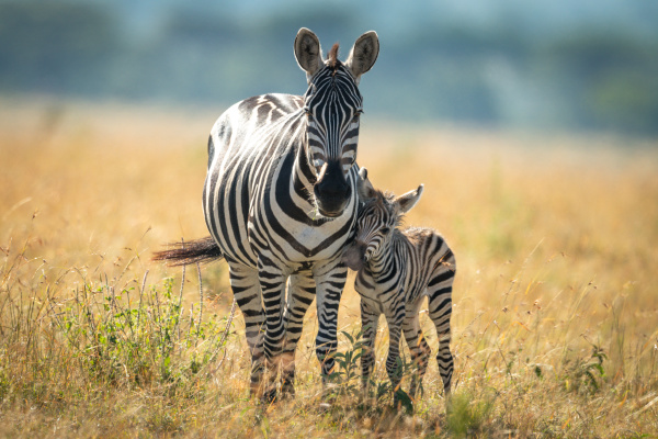 plains zebra and foal stand facing
