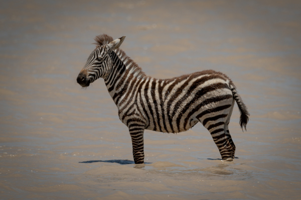 plains zebra foal stands in shallow