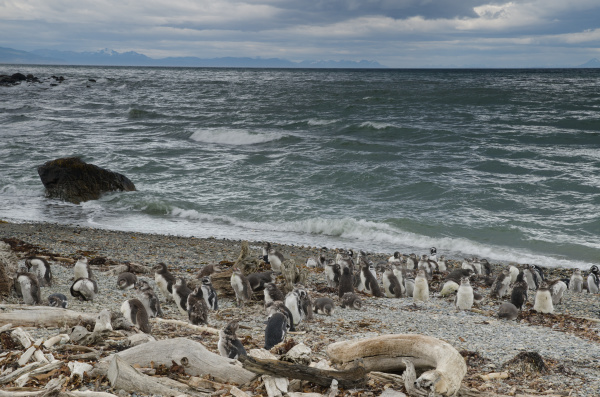 magellanic penguins in the otway sound