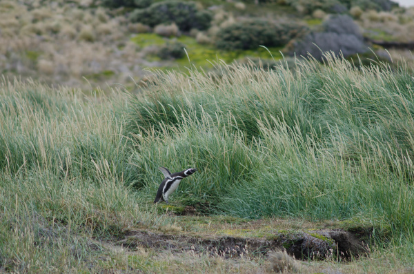 magellanic penguin in the otway sound